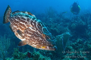 Grouper and Diver, Gardens of the Queen Cuba by Alejandro Topete