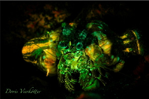 Anemonecrab Fluo Night Dive by Doris Vierkötter