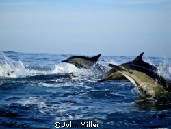 Three Common Dolphins during the Sardine run on the Natal... by John Miller