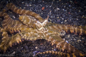 Wunderpus in Lembeh by Greg Duncan