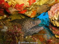 Honeycomb Moray Eel - Hin Daeng, Thailand.. by William Angus