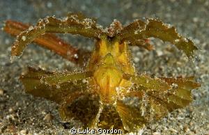 Ambon Scorpionfish by Luke Gordon