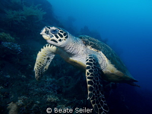 Turtle at the Alam Batu Housereef by Beate Seiler