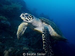 Turtle at the Alam Batu Housereef by Beate Seiler