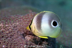 Juvenile Foureye Butterflyfish at the Fish Camp Rocks off... by Michael Kovach
