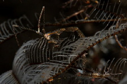 skeleton shrimp by Patrick Hartono