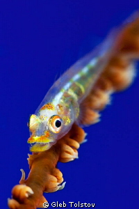 Goby in blue by Gleb Tolstov