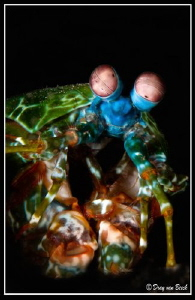 Mantis shrimp by Dray Van Beeck