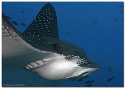 - close up - Portrait of an Eagle Ray (Aetobatus ocellat... by Reinhard Arndt