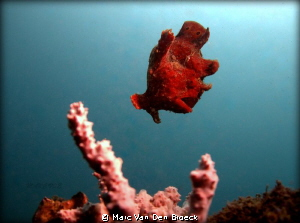 frogfish in the blue by Marc Van Den Broeck
