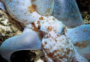 Octopus Hunting, Cozumel Mexico by Alejandro Topete