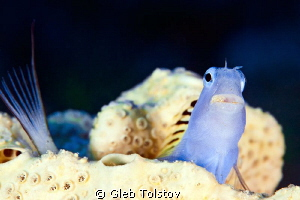 Blenny and a tail by Gleb Tolstov