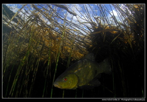 Tench coming out of the reeds... :O)... by Michel Lonfat