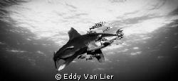 Great Oceanic Whitetip Deadelus Reef, Red Sea Egypt (Niko... by Eddy Van Lier