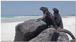 - It's their country - A pair of Iguana Marina in Tortug... by Reinhard Arndt
