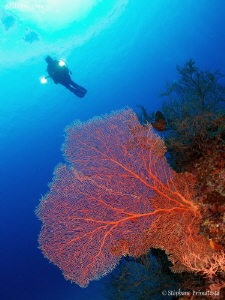 Gorgonian by Stéphane Primatesta