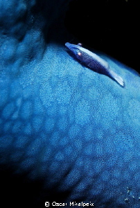 """blue"" star and friend by Oscar Miralpeix"