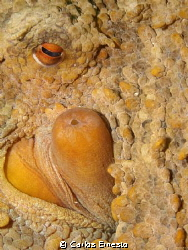 octopus detail by Carlos Ernesto