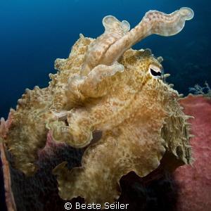 Cuttlefish in a sponge by Beate Seiler
