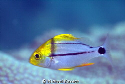 Juvenile Porkfish on the Fish Camp Rocks off the beach in... by Michael Kovach
