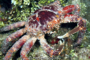 Channel Clinging Crab by Herbert Dubois