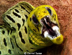 Fimbriated Moray hiding in a Barrel Sponge taken while sc... by Daniel Sasse