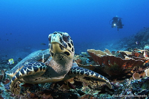 Turtle from Bunaken Island by Iyad Suleyman
