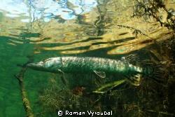 Pike by Roman Vyroubal