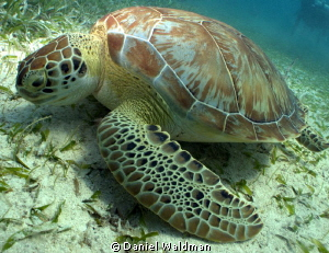 Green Turtle  Taken with Canon G12 Settings F6.3 Speed 12... by Daniel Waldman