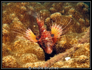 lion fish by André Bruchez