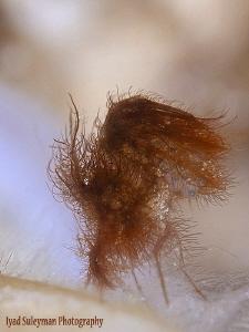 Hairy shrimp with eggs (inside shell)  by Iyad Suleyman