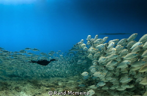 Cormorant swims among the fishes. by Rand Mcmeins