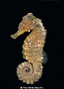 Sea Horse Nikon D200, 60 micro, twin strobo, Seacam hous... by Marchione Giacomo
