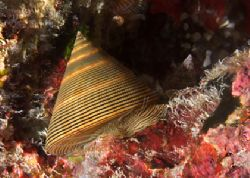 Chocolate-lined topsnail taken on a night dive with Nikon... by Maryke Kolenousky