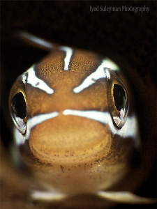 Fangblenny