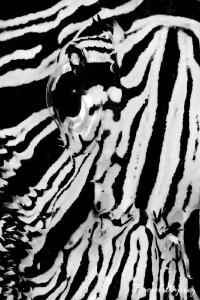 Zebra by Raoul Caprez