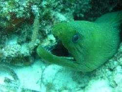 Green Moray on Belize Barrier Reef by Martin Spragg