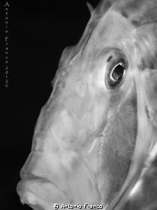Zeus Faber portrait in black&white by Antonio Franco
