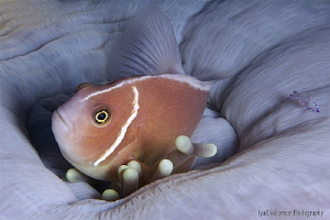 Anemonefish with friend by Iyad Suleyman