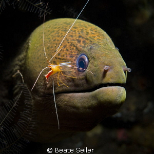 Moray with cleaner shrimp by Beate Seiler