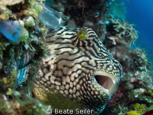 Puffer at the cleannig station by Beate Seiler