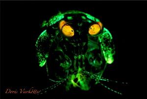 Mantishrimp Fluo Dive by Doris Vierkötter