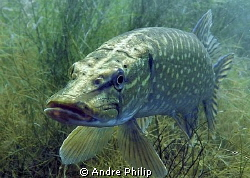 pike-portrait by Andre Philip