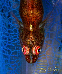 Goby by Doris Vierkötter