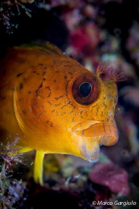 African Blenny - yellow fase by Marco Gargiulo