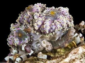 Cyclocoeloma tuberculata (Misool) by Mathieu Foulquié