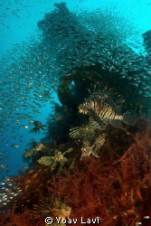 """Party Group of lionfish hunting glassfish at the """"Satil""""... by Yoav Lavi"""