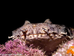Wobbegong shark, lying on a ledge by Bill Van Eyk