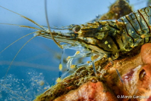 Shrimp, Palaemon serratus by Marco Gargiulo