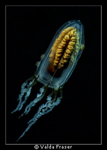 A type of jellyfish, complete with a few tick-like hitch-... by Valda Fraser